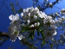 Apple floresce - branco Imagem de Stock Royalty Free