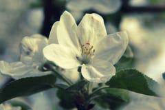 Apple floresce perto acima durante a florescência Fotos de Stock Royalty Free