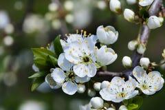 Apple floresce a vista macro Árvore de fruta de florescência o pistilo, estame, pétala detalhou a imagem Paisagem da natureza da  imagens de stock
