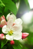 Apple flower. A shiny picture of an apple flower in spring royalty free stock photo