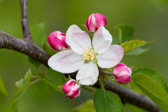 Apple flower Stock Images