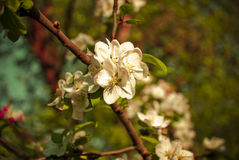 Apple flower. The apple flower in spring royalty free stock photography