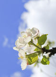 Apple flower Royalty Free Stock Photography
