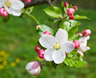 Apple flower. In blossom in spring stock photos