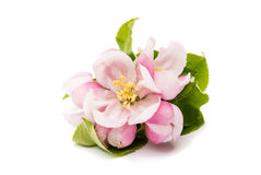 Apple Flower Royalty Free Stock Images