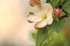 Apple Flower. Blooming during Sunset royalty free stock photos