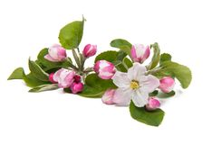Apple flower. On a white background stock photo