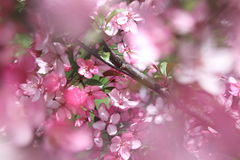 Apple flower background Stock Photo