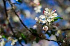 Apple flower. Beautiful apple flower with drop stock image