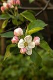 Apple flower bloom. Spring garden. Apple flower bloom. Pink and white apple flowers. Spring garden royalty free stock photo