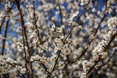 Apple flower. Blooming in the spring stock photo
