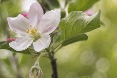 Apple Flower. Blooming during Sunrise stock photography