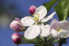 Apple flower. Blooming apple tree branch over blue sky stock images
