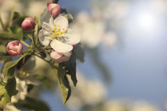 Apple flower. Blooming apple tree branch over blue sky stock photography