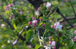 Apple flower blossom at spring time royalty free stock images
