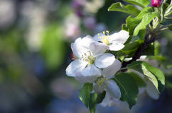 Apple flower Royalty Free Stock Image