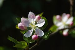 Apple flower blossoms. Beautiful spring bloom in garden in sunny day macro view royalty free stock photo