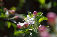 Apple flower blossoms. Beautiful spring bloom in garden in sunny day macro view stock images