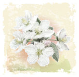 Apple flower blossoms Royalty Free Stock Image