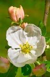 Apple flower Stock Image