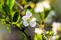 Apple flower. The branch of blossoming apple tree with foliage closeup Royalty Free Stock Images