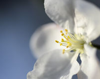 Apple flower. Branch and dlue sky beautiful natural background stock photos
