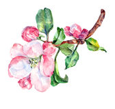 Apple flower on a branch,  watercolor. Apple flower  branch  watercolor handmade white background Stock Images