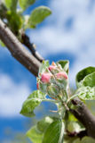 Apple flower bud Stock Images
