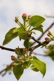 Apple flower bud Royalty Free Stock Photo