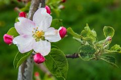 apple flower with buds on bright zeolite background, sunny spring day_ royalty free stock photo