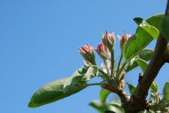 Apple flower buds Royalty Free Stock Photo