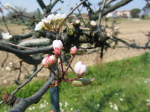 Apple flower closed buds in spring . Tuscany, Italy Stock Images