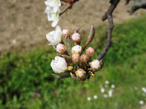 Apple flower closed buds in spring . Tuscany, Italy Stock Photography
