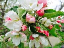 Apple flower. Flowers on Apple tree Stock Photography