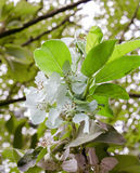 Apple flower. Image of an apple blossom Royalty Free Stock Photography