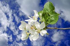 Apple flower. Image of an apple blossom Stock Photography