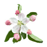 Apple flower with leaf. Isolated on white background royalty free stock photography
