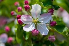 Apple flower Royalty Free Stock Photos