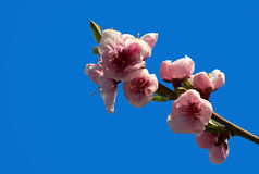 Apple flower Stock Photos