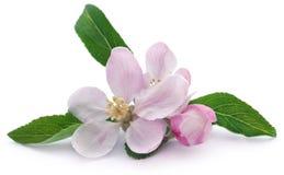 Apple flower. Over white background stock image