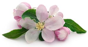 Apple flower. Over white background royalty free stock photo