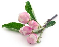 Apple flower. Over white background royalty free stock photography