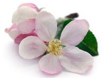 Apple flower. Over white background stock photos