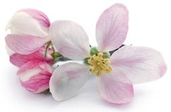 Apple flower. Over white background royalty free stock images