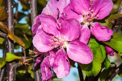Apple flower Pink color Stock Images
