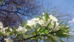 Apple flower Stock Images