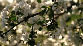 Apple flower in the sun stock video footage