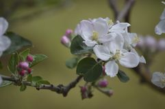 Apple Flower. Apple tree is blooming during Spring Royalty Free Stock Photography