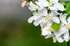 Apple flower with water drops Stock Photography