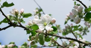 Apple flowering. Blossoming white-pink flowers in blooming orchard tree, gardening.  stock video footage